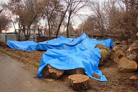 Новости: В Алматы готовят петицию в защиту деревьев