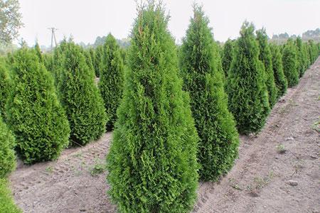 Новости: Бизнесмена запересадку деревьев оштрафовали почти на69тысячтенге