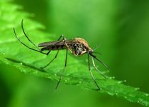 Новости: Нефтяную столицу оккупировали комары