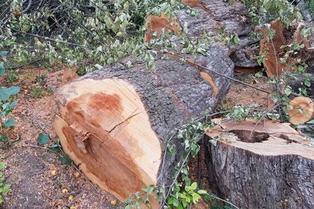 Новости: Вырубка краснокнижных деревьев вАлматы: полиция завела уголовное дело