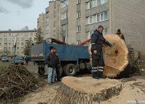 Новости: В Астане старые деревья меняют на новые