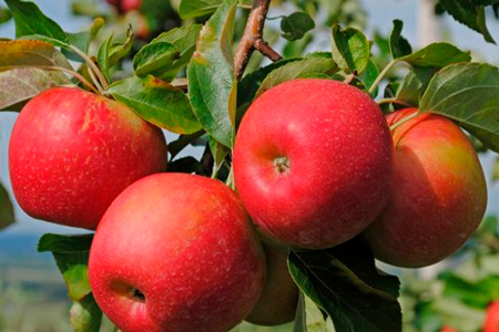 Новости: ВАлматы появится яблоневый бульвар