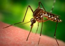 Новости: Под Астаной обнаружен опасный комар