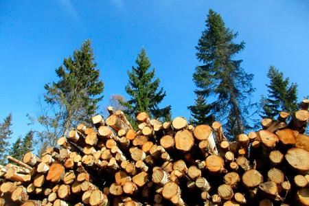 Новости: Насколько увеличат компенсацию завырубку краснокнижных деревьев