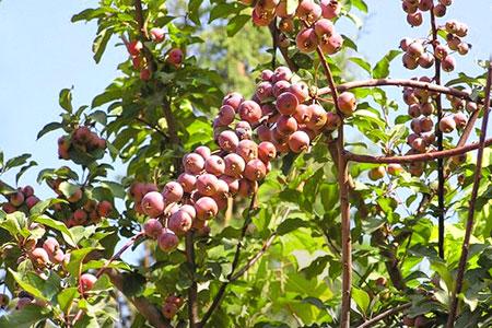 Новости: На Коктобе высадят яблони Сиверса