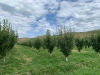 Яблоневый сад 4га