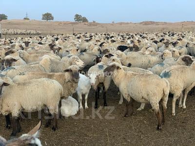 Ферма - фазенда с племенными овцами за 210 млн 〒 в Казаткоме — фото 18