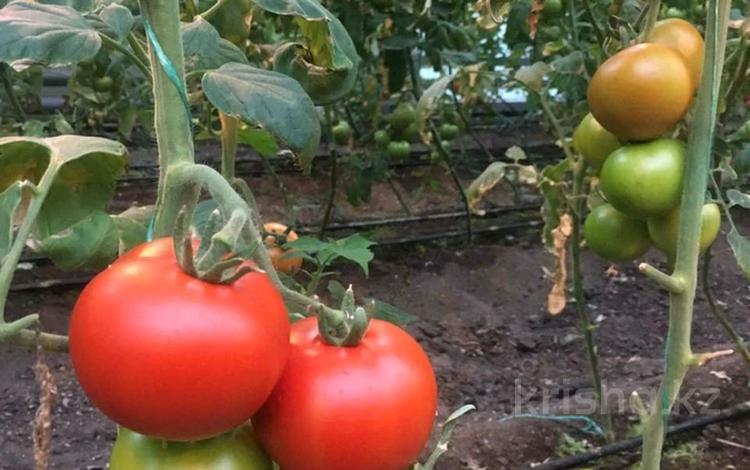 Продается тепличное хозяйство. за 77 млн 〒 в Сабынды