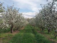 Яблоневый сад на 100 гектарах
