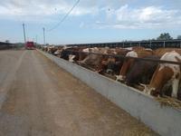 Действующая животноводческая мясо-молочная ферма
