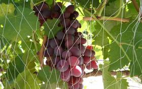 Элитный виноградный питомник за 19 млн 〒 в Алматинской обл.