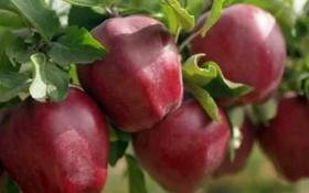 Яблоневый сад плодоносящий 6 лет за 25.2 млн 〒 в Есик